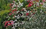 15---紅白の花が咲く梅