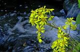 11.04----ツワブキの花