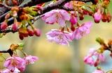 07----河津桜の花
