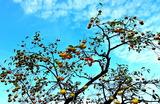 05----柿の木