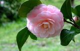 21----椿の花2
