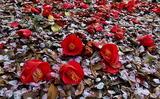 15---さくら近隣公園の桜の花びらと散り椿