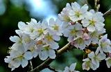 14----サクランボの花