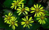 11.05----ツワギクの花