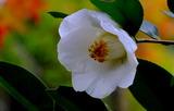 11.09----椿の花白