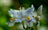 24---シャガの花