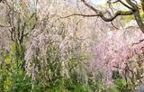 15---さくら近隣公園の枝垂れ