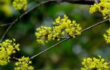 19---—サンシュユの花