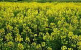 28----菜の花畑