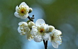 17---白梅の花