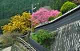21---満開の桃の花とミモザの花