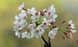 18----桜の花