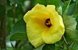 13----ハマボウの花
