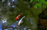11.02----池の鯉