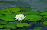 5.24----水景園睡蓮の花