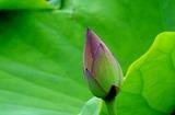6.06----蓮園の蓮の蕾