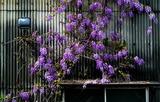 25---藤の花