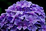 6.16----アジサイの花