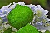 6.16----アジサイの花2
