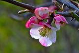 14----ボケの花