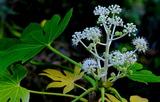 11.10----天神社ヤツデの花