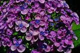 6.17----アジサイの花3