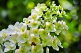 6.07----柏葉アジサイの花