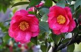 17---山茶花の花