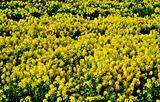 13----菜の花畑