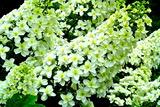 6.03----柏葉アジサイの花