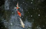15---池の鯉