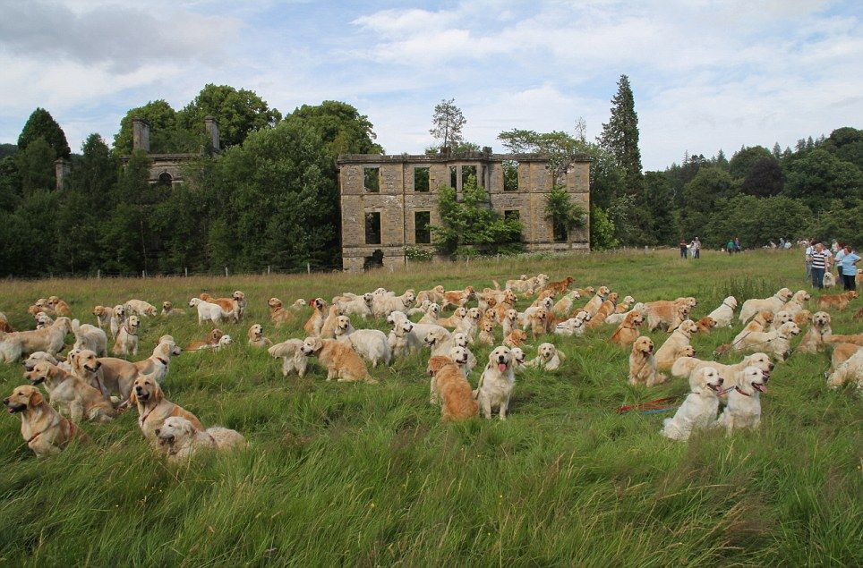 【犬】「222匹のゴールデンレトリバーがスコットランドで一堂に会しました」