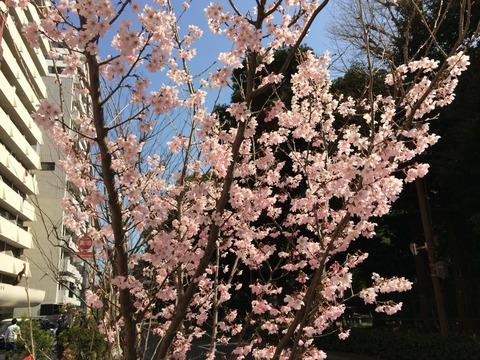 12015桜