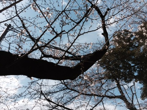 2016桜3
