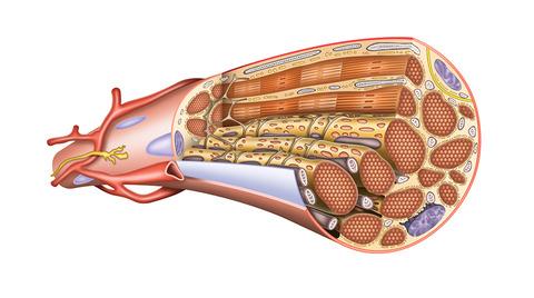 筋肉筋の構造  (2)