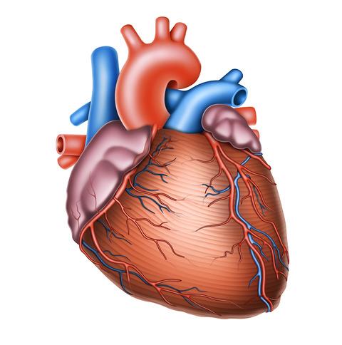 心臓と血管