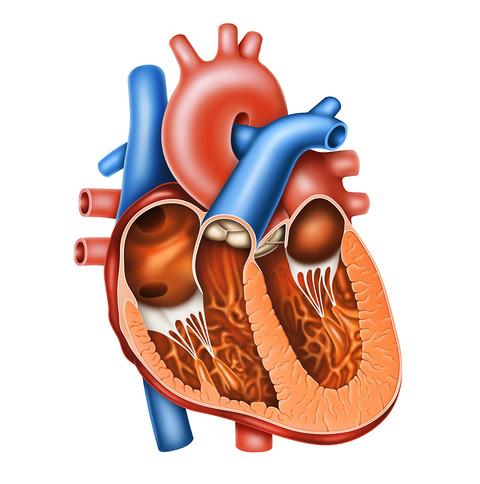 06-1 心臓 中