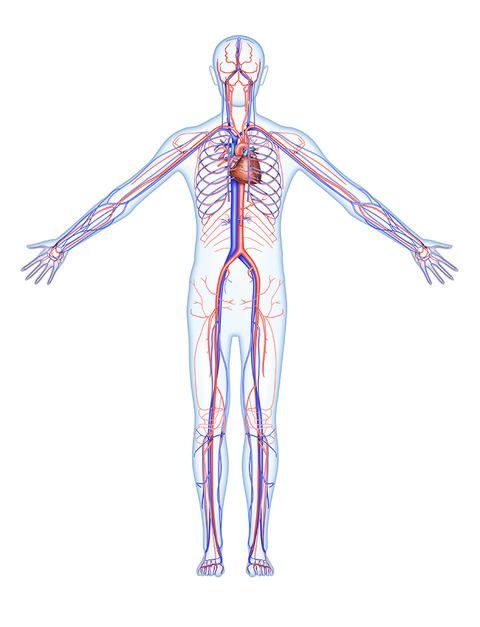 12-1全身の血管 (1)