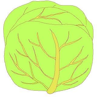 キャベツのイラスト・絵カード素材|春の野菜