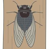 セミのイラスト・絵カード素材|夏の虫のイラスト