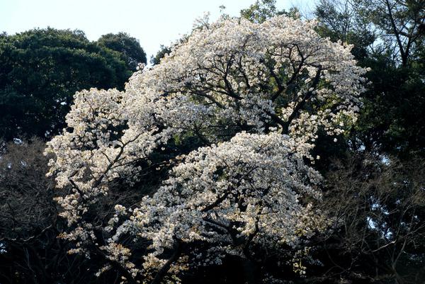 kosokujiyamazakura170320