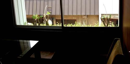 窓辺-2 パキポディウム タイム プラティア