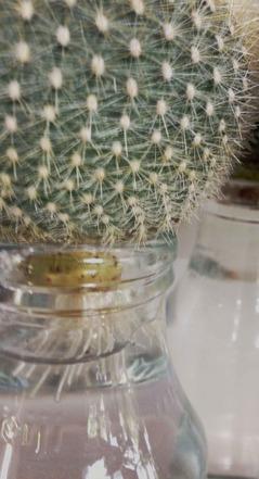 水栽培根っこ
