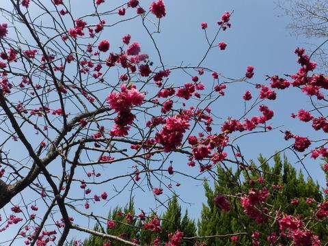 桜4DSCF4208