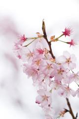 寒桜2011s02