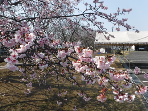 桜2DSCF4202