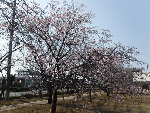 桜1DSCF4194