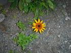 黄色い花 DSCF8781(6月22日)