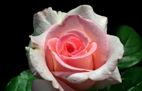 rose-3100083_640