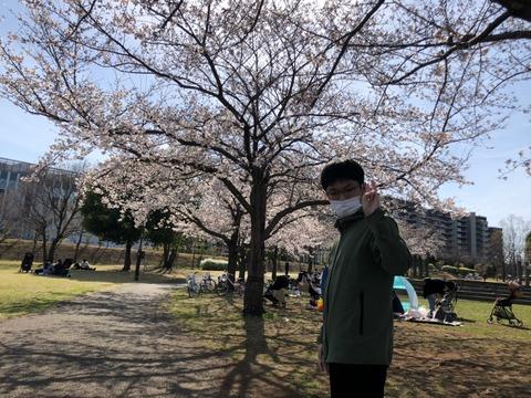 かいさんと桜並木